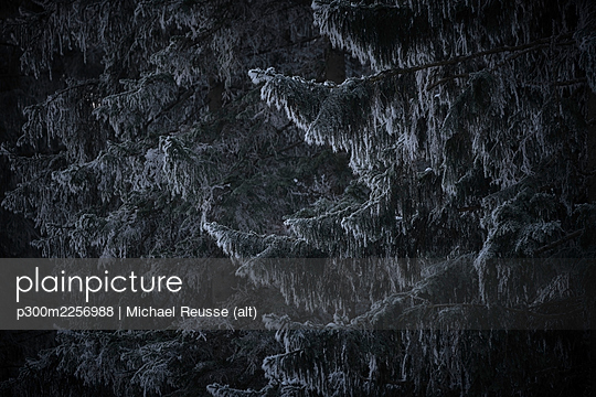 Evergreen tree branches covered with snow - p300m2256988 by Michael Reusse (alt)