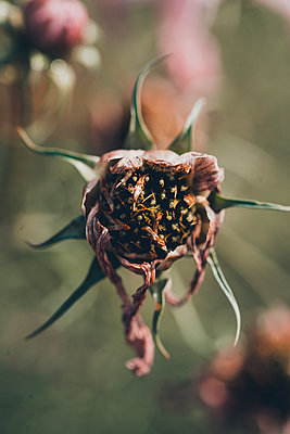 Decaying flowers, close-up - p1628m2211453 by Lorraine Fitch