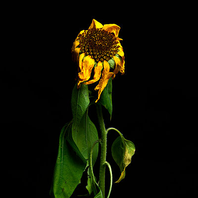 Sunflower death and tilted. - p813m938435 by B.Jaubert