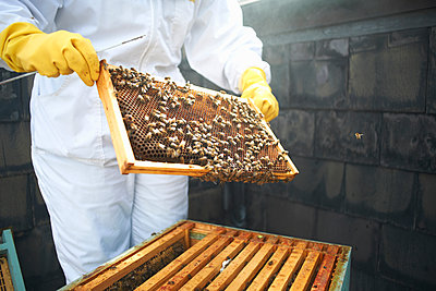 Beekeeper inspecting hive frame, mid section - p429m1224266 by Peter Muller