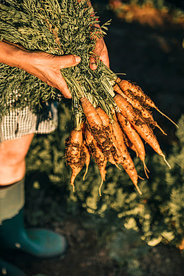 Female farm worker holding bunch of carrots at vegetable field - p300m2293524 by LUPE RODRIGUEZ