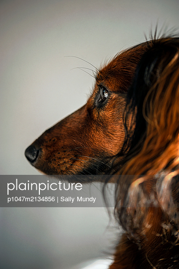 Profile portrait of long-haired red dachshund - p1047m2134856 by Sally Mundy