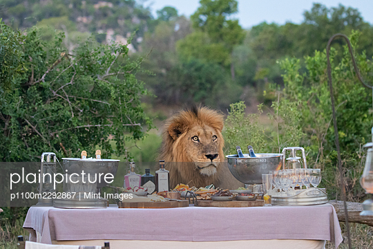 Male lion, Panthera leo by a table of drinks and snacks, sunset - p1100m2292867 by Mint Images