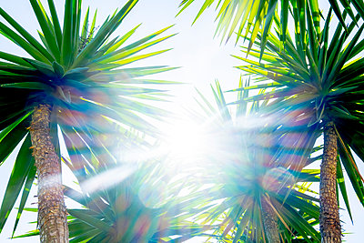 Spiny leaves of palm trees at bright sunshine - p1057m2124796 by Stephen Shepherd