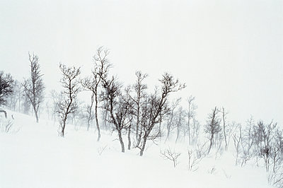 Bare trees in a snowstorm, Jämtland, Sweden - p1481m2203811 by Peo Olsson