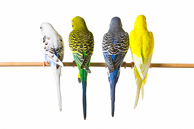 Budgie bird posteriors - p4422894f by Design Pics