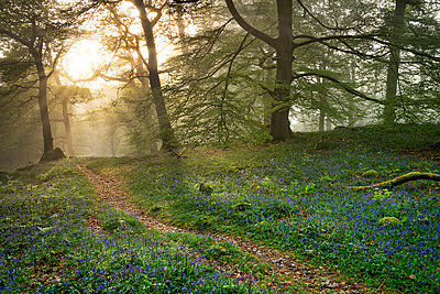 Bluebells and mist in Manesty Wood in Borrowdale, Derwent Water, Lake District National Park, UNESCO World Heritage Site, Cumbria, England, United Kingdom - p871m2113729 by John Potter