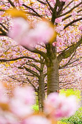 Blossoming cherry trees - p300m1228329 by Süleyman Kayaalp