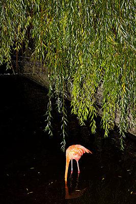 Flamingo auf Futtersuche - p712m2082620 von Jana Kay