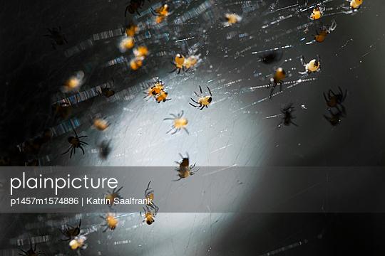Spinnenbabys - p1457m1574886 von Katrin Saalfrank