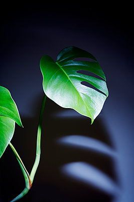 Houseplant Monstera deliciosa - p1149m2028454 by Yvonne Röder