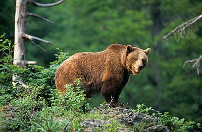 Bär im Wald - p3300497 von Harald Braun