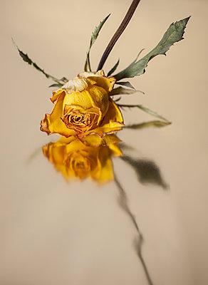 Wilted rose - p971m1203263 by Reilika Landen