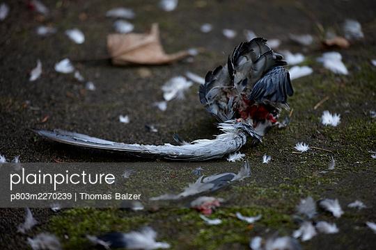 Dead bird - p803m2270239 by Thomas Balzer