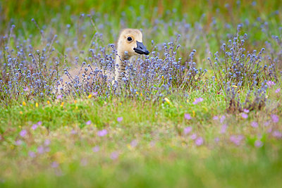 Gosling in a meadow of wild flowers. - p1100m1045543f by Chris Corradino