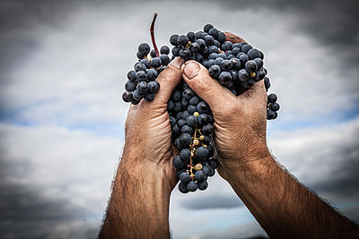 Grapes and Hands   - p1402m1461690 by Jerome Paressant