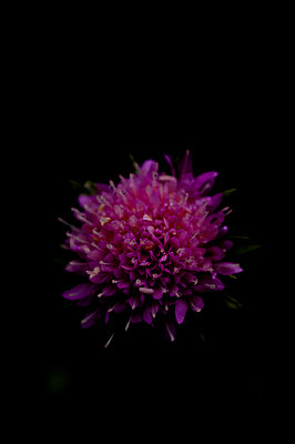 Purple wild flower, macro - p1628m2288902 by Lorraine Fitch