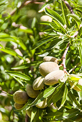 Almonds - p280m972432 by victor s. brigola