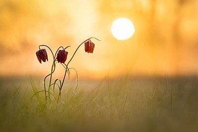 Snake's Head Fritillary on a meadow at sunrise - p300m1450262 by Brigitte Stehle