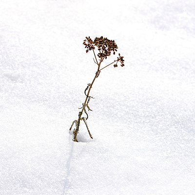 Dry plant in the snow - p8130048 by B.Jaubert
