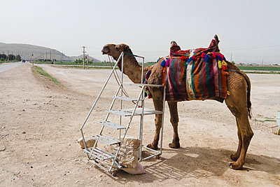 Camel for ride - p798m1025696 by Florian Loebermann