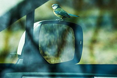 Bird perching on side mirror - p312m2050635 by Fredrik Schlyter