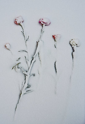 Roses in snow - p390m1011422 by Frank Herfort