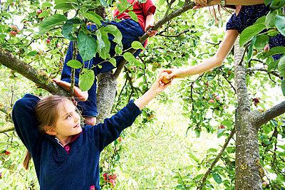Children picking fruit in tree - p42918881f by Adie Bush