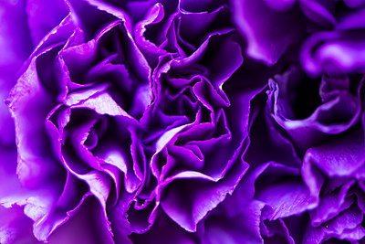 Purple carnation - p947m1017266 by Cristopher Civitillo