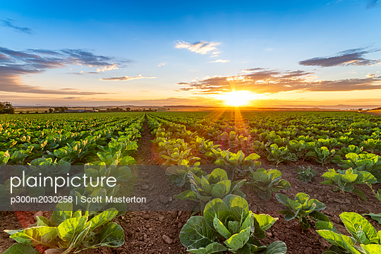 United KIngdom, East Lothian, field of brussels sprouts, Brassica oleracea, against the evening sun - p300m2030258 by Scott Masterton