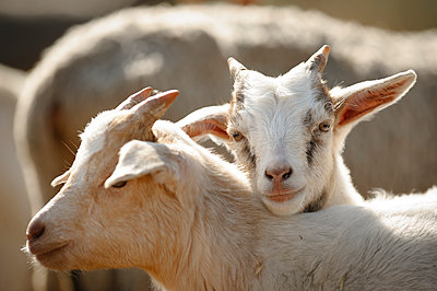 Mountain goat - p1273m1110931 by Melanka Helms