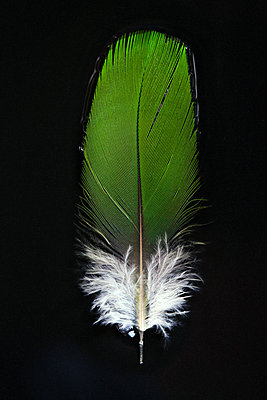 Feather - p873m1548239 by Philip Provily