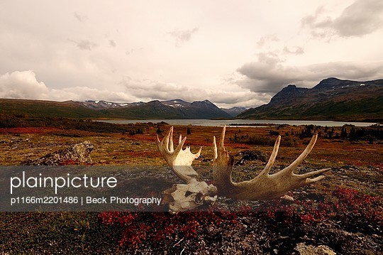 Moose antlers in Katmai National Park, Alaska - p1166m2201486 by Beck Photography