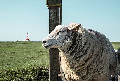 Schaf am Deich - p1162m1586125 von Ralf Wilken