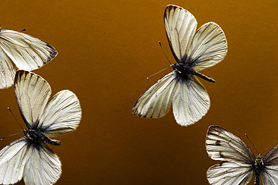 Four butterflies, close-up - p1629m2211349 by martinameier