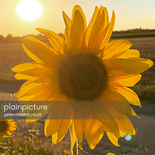 Sunflower, close-up - p958m2290810 by KL23