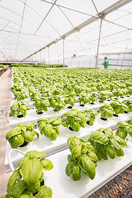 Rows of green basil in greenhouse - p555m1305380 by Mark Edward Atkinson/Tracey Lee