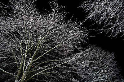 Looking up at snow covered branches of overhead trees covered in snow on adark winter night. - p1057m1510560 by Stephen Shepherd