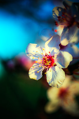 Close up of plum flower blossom (Prunus mume), Windsor, California, USA - p343m1500335 by Ron Koeberer