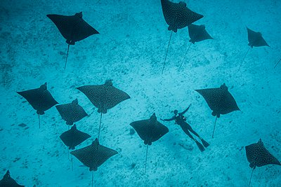 Underwater overhead view of spotted eagle rays and scuba diver casting shadows on seabed, Cancun, Mexico - p924m1094727f by Rodrigo Friscione
