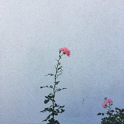 Rosen vor einer Hauswand - p1401m2122569 von Jens Goldbeck