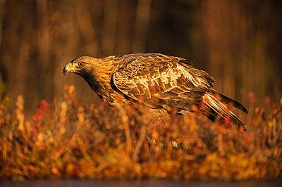 Golden eagle (Aquila chrysaetos), Sweden, Scandinavia, Europe - p871m1221572 by Janette Hill