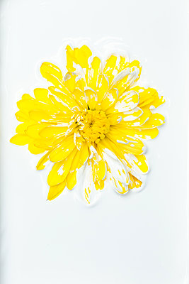 Gerbera flower covered with white paint - p919m2195661 by Beowulf Sheehan