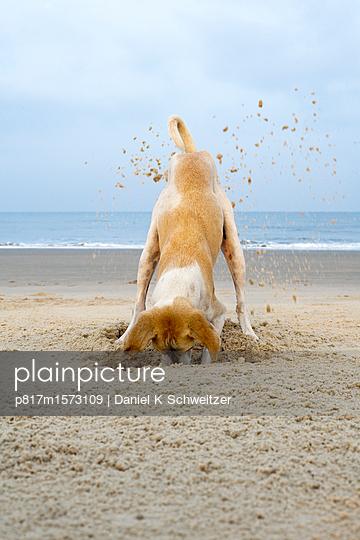 Spielender Hund am Stand - p817m1573109 von Daniel K Schweitzer