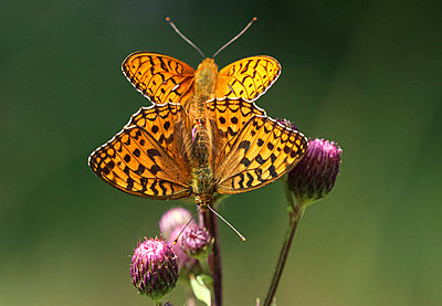 Fritillary butterfly pair mating on thistle - p1251m1087474 by Heikki Tabell