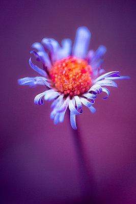 Funny flower with curved petals - p1682m2264047 by Régine Heintz