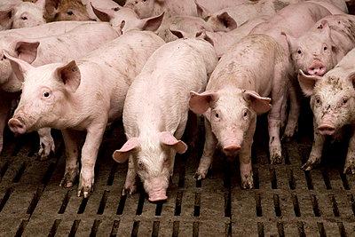Gruppe junger Schweine in Frontalansicht - p4902486 von Christian Marquardt