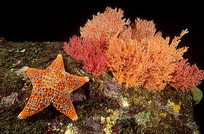 Firebrick Sea Star crawling past a Gorgonian Coral - p8841643 by Fred Bavendam
