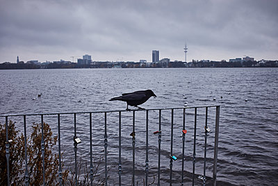 Single crow on railing on the Alster - p1573m2231693 by Christian Bendel