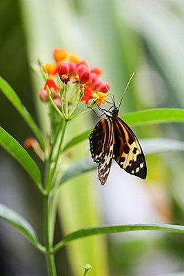 Monarch butterfly, Danaus plexippus, on blossom - p300m1550204 by Christina Falkenberg